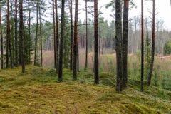het bos van de pijnboomboom met mos behandelde grond in de recente herfst Stock Fotografie
