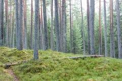 het bos van de pijnboomboom met mos behandelde grond in de recente herfst Royalty-vrije Stock Foto's