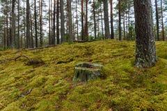 het bos van de pijnboomboom met mos behandelde grond in de recente herfst - vinta Royalty-vrije Stock Foto