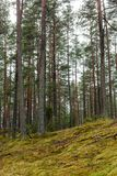 het bos van de pijnboomboom met mos behandelde grond in de recente herfst - vinta Royalty-vrije Stock Afbeeldingen