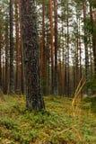 het bos van de pijnboomboom met mos behandelde grond in de recente herfst - vinta Royalty-vrije Stock Afbeelding