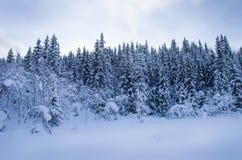 Het bos van de pijnboomboom met sneeuw wordt behandeld die Royalty-vrije Stock Fotografie