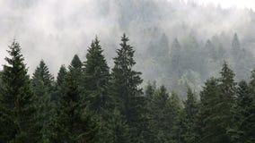 Het bos van de pijnboomboom in de mist stock video