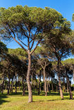 Het bos van de pijnboomboom in park Royalty-vrije Stock Foto's