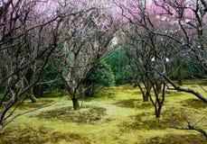 Het Bos van de pruim Royalty-vrije Stock Afbeelding