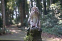 Het Bos van de Sangehaap op Bali stock fotografie