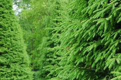 Het bos van de spar Royalty-vrije Stock Foto's