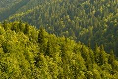 Het bos van de spar Royalty-vrije Stock Afbeeldingen