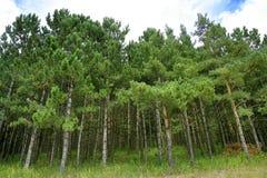 Het Bos van de spar Stock Afbeelding