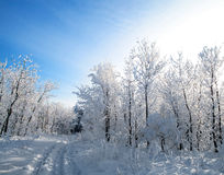Het bos van de winter Royalty-vrije Stock Fotografie