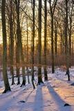 Het bos van de winter bij zonsondergang Stock Afbeelding