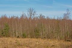 Het bos van de de winterberk in Kalmthout-hitte, Vlaanderen, op een zonnige dag stock foto