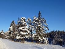 Het bos van de de wintersneeuw met sparren en pijnbomen royalty-vrije stock afbeelding
