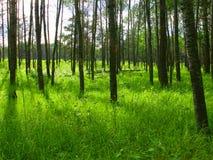 Het bos van de zomer Royalty-vrije Stock Fotografie