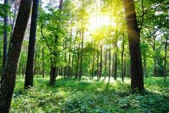 Het bos van de zomer, zon Royalty-vrije Stock Foto