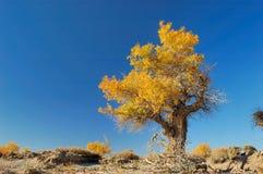 Het Bos van Euphratica van Populus Royalty-vrije Stock Fotografie
