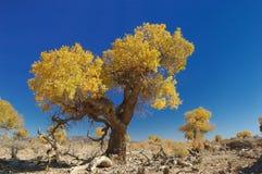 Het Bos van Euphratica van Populus Royalty-vrije Stock Afbeelding
