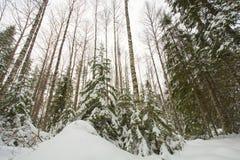 Het Bos van Finland in de winter Royalty-vrije Stock Afbeeldingen