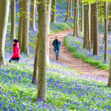 Het Bos van Hallerbosklokjes, België Stock Foto's