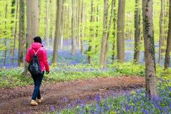 Het Bos van Hallerbosklokjes, België Stock Fotografie