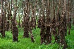 Het bos van het alluviale gebied stock foto's