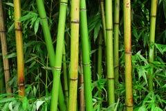 Het bos van het bamboe Royalty-vrije Stock Fotografie