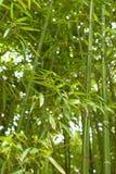 Het bos van het bamboe Stock Afbeeldingen