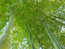 Het bos van het bamboe omhoog Stock Foto