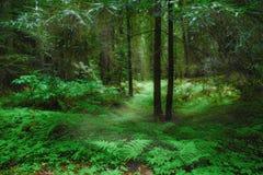 Het Bos van het noordwesten Stock Afbeeldingen