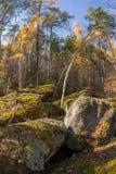 Het bos van het wildernislandschap met pijnboombomen en mos op rotsen Royalty-vrije Stock Foto's