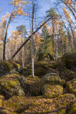 Het bos van het wildernislandschap met pijnboombomen en mos op rotsen Stock Afbeelding