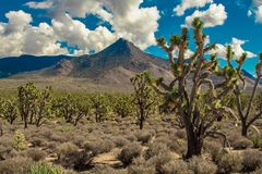 Het bos van Joshuabomen in de woestijn van Arizona royalty-vrije stock afbeeldingen