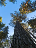 Het bos van pijnbomen Royalty-vrije Stock Fotografie