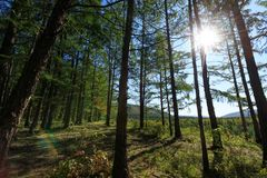 Het bos van pijnboombomen Stock Foto's