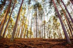 Het bos van pijnboombomen Royalty-vrije Stock Fotografie
