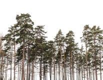 Het bos van pijnboombomen op witte achtergrond wordt geïsoleerd die Royalty-vrije Stock Afbeeldingen