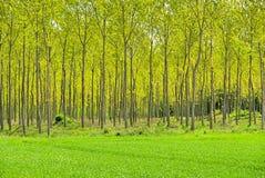 Het bos van Populus Stock Foto