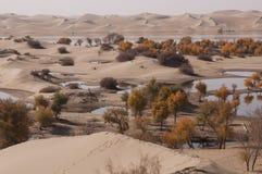 Het bos van populuseuphratica in de woestijn Royalty-vrije Stock Fotografie