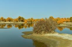 Het bos van populuseuphratica dichtbij de rivier Stock Foto's