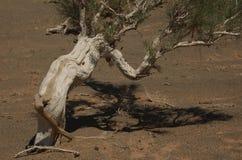 Het Bos van Saxaul in de Woestijn van Gobi Royalty-vrije Stock Fotografie