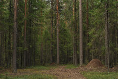Het bos van Taiga Stock Foto