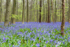 Het bos van Wildflowerklokjes Stock Foto