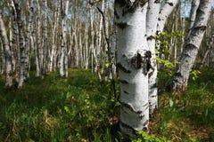 Het bos van witte berken Stock Fotografie