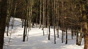 Het bosbos van de bergwinter van een jong die beukbos van Fagus-sylvatica, sneeuw met een grote hoge laag wordt behandeld, - kwal stock video