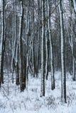 Het bosbos van de landschapswinter in de sneeuw stock afbeelding