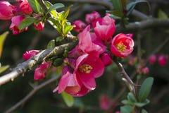 Het bosje van Cydoniaoblonga bloeit knoppen op een takje stock afbeeldingen