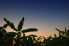 Het bosje van de banaan Stock Afbeeldingen