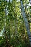 Het bosje van de berk stock afbeeldingen