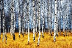 Het bosje van de berk stock foto's