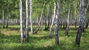 Het bosje van de berk stock footage